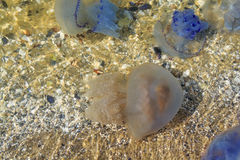 Sea Medusa nahe dem Ufer Stockbilder