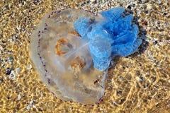 Sea Medusa nahe dem Ufer Sun Stockbild
