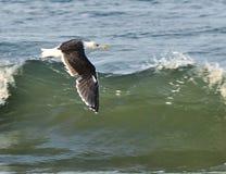 Sea-mew Royalty Free Stock Photo