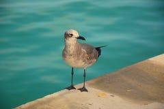 Sea mew Stock Photography