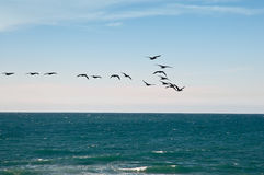 Sea and migratory birds. Royalty Free Stock Image
