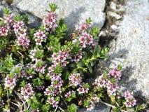 Sea milkweed. Flowering sea milkweed Glaux maritima stock photography