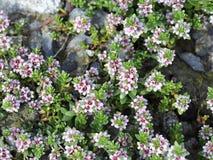 Sea milkweed. Flowering sea milkweed Glaux maritima Royalty Free Stock Image