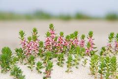 Sea milkwort in the dunes Royalty Free Stock Photo