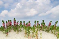 Sea milkwort in the dunes Stock Photography