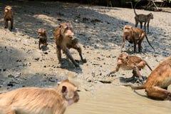 Sea monkey Stock Photos