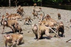 Sea monkey Royalty Free Stock Photo