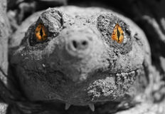 Sea Monster. A doctored image of a snapping turtle's head Stock Photography