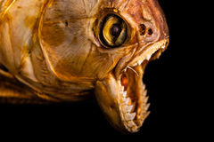 Sea monster. Close up of the scary mouth of a dried pirana Royalty Free Stock Photography