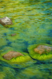 Sea moss. Green moss stuck on stone in the sea Stock Images