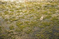 Sea moss Royalty Free Stock Photo