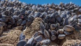 Sea muscles on rocks. Small sea muscles growing on rocks close to the ocean Stock Images