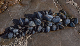 Sea muscles on rocks. Small sea muscles growing on rocks close to the ocean Stock Image