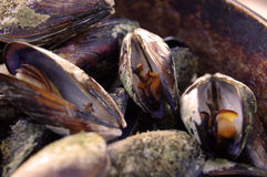 Sea mussels. Fresh sea mussels in a pan Stock Image