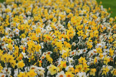A sea of narcissus and daffodils Stock Images