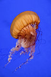 Sea Nettle. A stinging nettle in an aquarium, British Columbia royalty free stock photos