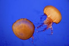 Sea Nettle Royalty Free Stock Photography