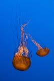 Sea Nettle Royalty Free Stock Photos