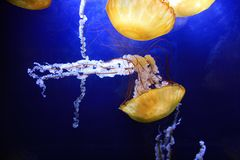 Sea Nettle Jelly Fish. Floating in an aquarium Royalty Free Stock Image