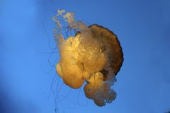 Sea Nettle Jelly fish. One jelly fish floating upside down in the blue water Royalty Free Stock Photography