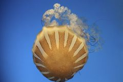 Sea Nettle Jelly fish Royalty Free Stock Image