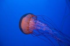 Sea nettle jellyfish Royalty Free Stock Photography