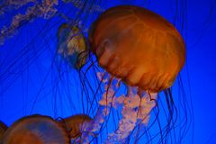 Sea nettle jellyfish. Monterey Bay aquarium Royalty Free Stock Photos