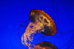 Sea nettle jellyfish. Monterey Bay aquarium Stock Image