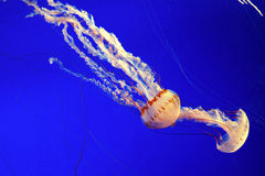 Sea nettle jellyfish. At monterey aquarium Royalty Free Stock Image