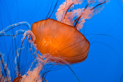 Sea Nettle Jellyfish Royalty Free Stock Photo