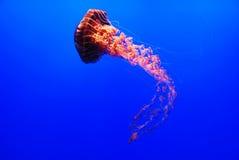 Sea Nettle Jellyfish - Chrysaora. A sea nettle jellyfish - Chrysaora fuscescens on blue background Stock Photos