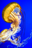 Sea  Nettle jellyfish (Chrysaora fuscescen) Royalty Free Stock Photo