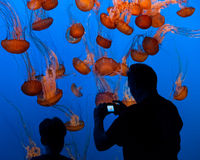Sea Nettle Jellyfish Stock Photos