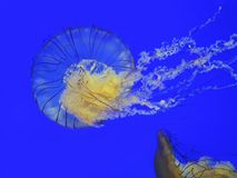 Sea nettle jellyfish. In deep water Stock Photography