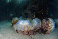 Sea Nettle Jellyfish on Seafloor. Sea Nettle jellyfish are found in the shallows of Monterey Bay, California. These jellyfish occasionally occur in huge numbers Royalty Free Stock Image