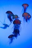Sea Nettles. Swimming in the water stock image