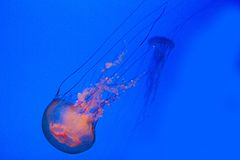 Sea nettles Royalty Free Stock Image