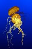 Sea Nettles. A pair of sea nettles jellyfish (Chrysaora quinquecirrha Royalty Free Stock Photos