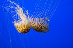 Sea Nettles Royalty Free Stock Photos