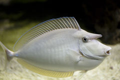 Sea nose fish Royalty Free Stock Image