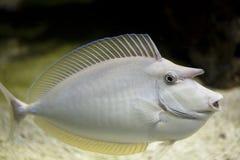 Sea nose fish Royalty Free Stock Image