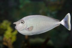 Sea nose fish Stock Photo