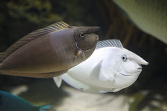 Sea nose fishes Stock Photo