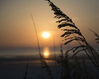 Sea oat by the sea. royalty free stock photo