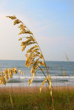 Sea oats. A tall stalk of sea oats against a blue ocean and sky Stock Images
