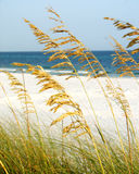 Sea oats. On the beach in Destin, Florida stock photos