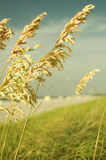 Sea Oats royalty free stock images