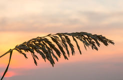 Sea Oats against rising sun in Florida Royalty Free Stock Photos