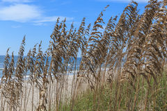 Sea Oats on the Atlantic Royalty Free Stock Images