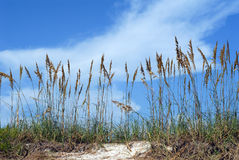 Sea oats on beach Royalty Free Stock Photo